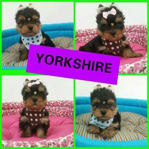 Lindos Filhotes de Yorkshire Mini Machos e Fêmeas no Puppy