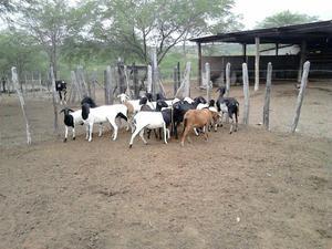 Vendo lote de carneiros