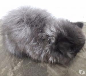 Filhote Gato Persa Padrão Show Extremado
