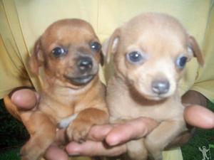 Chihuahua vacinados e com pedigree