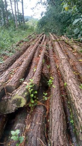 Madeiras de pinus