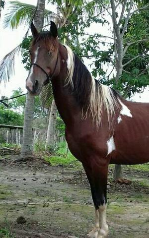 Cavalo Garanhão ABCCPAMPA