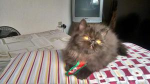 Gato persa hemalaio filhote promoção