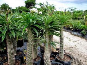 Mudas de Palmeira de Madagascar – Raríssima, Bela e