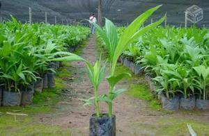 10 muda de palmeira real por  reais