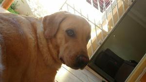 Labrador fêmea pra cruzamento