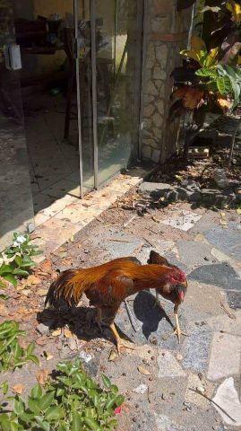 Galos e galinhas ingles