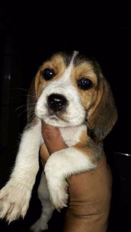 Beagle machos e fêmeas disponíveis na promoção