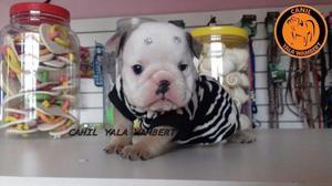Bulldog Inglês filhotes apaixonantes para você e sua