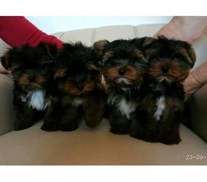 Filhotes Machos Yorkshire Terrier 4 meses