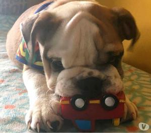 Bulldog inglês macho12xR$