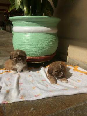 Shih Tzu Spitz Lulu pronta entrega filhotes registrados