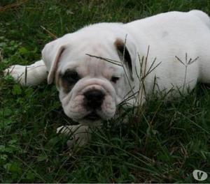 Bulldog Bulldog Inglês À venda