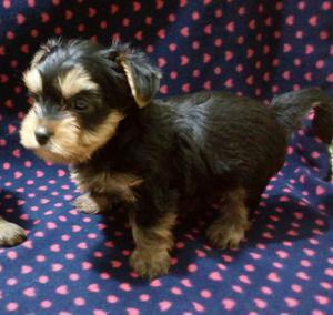 Filhote Macho de Yorkshire Terrier - Pedigree CBKC/FCI