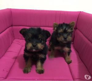 YorkShire Terrier Micro Fêmeas de Excelente Linhagem