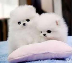 lindos filhotes de Pomerânia disponível agora.