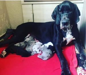 Dog Alemao gigante