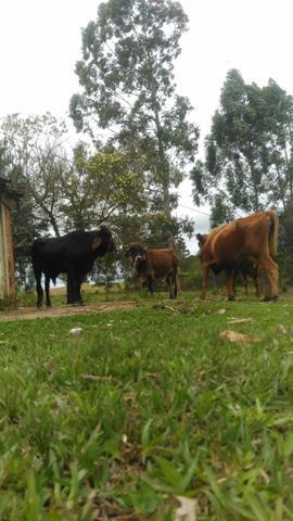 2 lindos touro e uma vaca