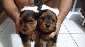 Filhote Yorkshire Terrier