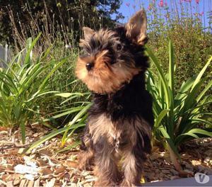 Filhote de Cachorro Yorkshire Terrier para dar