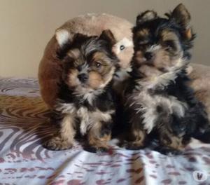 YorkShire Terrier Filhotes macho e Fêmea