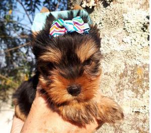 Filhotes de Yorkshire Terrier Miniaturas e Biewer
