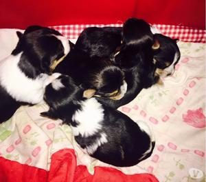 Filhotes de Yorkshire e Biewer Terrier