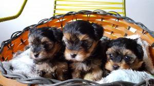Filhote de Yorkshire Terrier Fêmea Micro