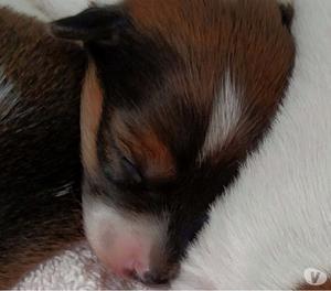 Filhotes de Jack Russell Terrier à venda