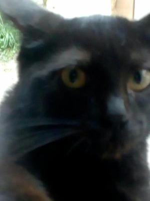Filhote de gato preto
