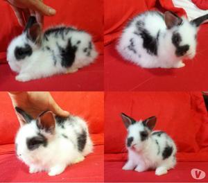 Mini coelhos e Coelhos anões Netherland Dwarf