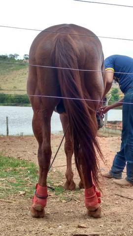 Cavalo quarto de milha !!