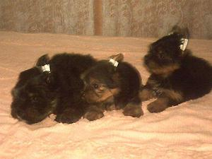 Yorkshire Terrier femea vermifugada