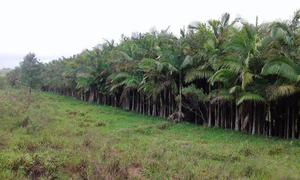 Palmeira Real para jardinagens