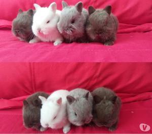 Mini coelhos menor do mundo