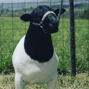 Dorper - ovinos - Carneiros - ovelhas