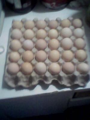 Ovos falados de índio gigante