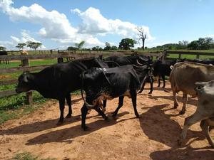 Vacas para engordar