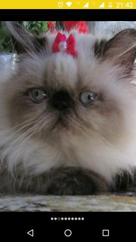 Filhotes de gato persa himalaio