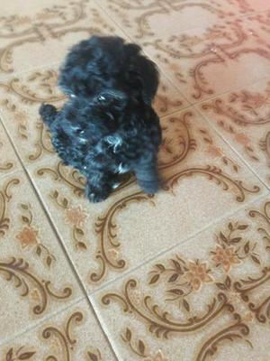 Vendo filhote de poodle toy 2 meses de vida
