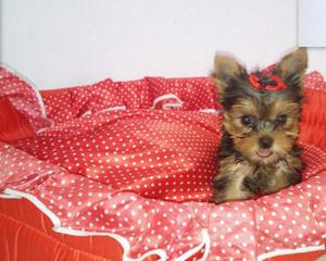 Yorkshire terrier filhotinhos porte pequeno