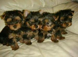 Filhotes de Yorkshire Terrier MICRO