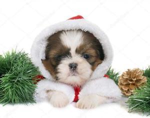 Promoção de Natal Filhotes de shih tzu macho com pedigree