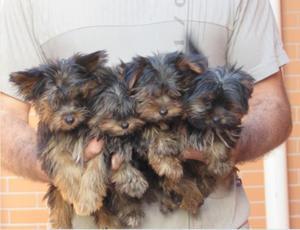 Yorkshire Terrier mini, lindos filhotes, em até 12x no