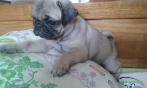 Pug hotes de pug com pedigree