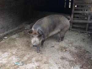 Vende-se porca