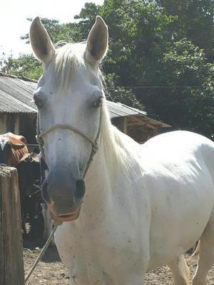 Cavalo MM castrado