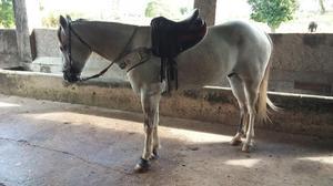 Cavalo de vaquejada vendo ou troco