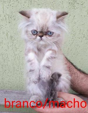 Belos filhotes de gatos persas puros.Parcelo no