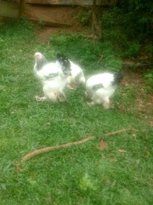 Frangos e galinhas brahma laight e dark (Leia o anúncio)